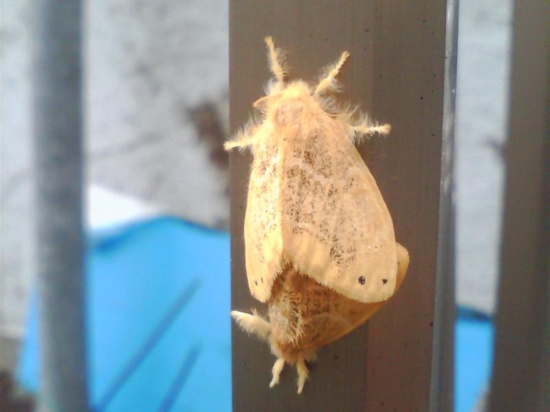 蛾の交尾個体|