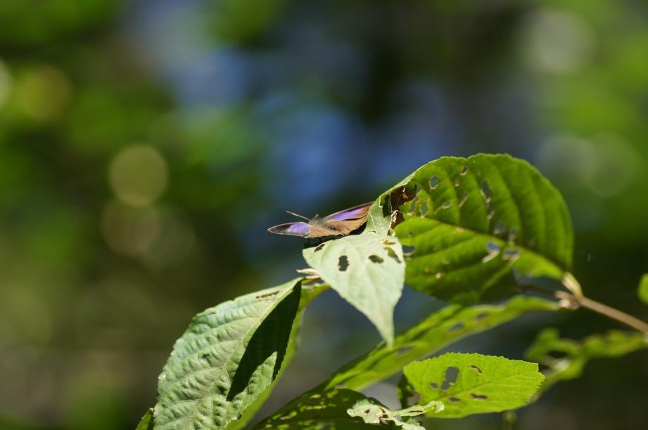 ムラサキシジミ(開翅)