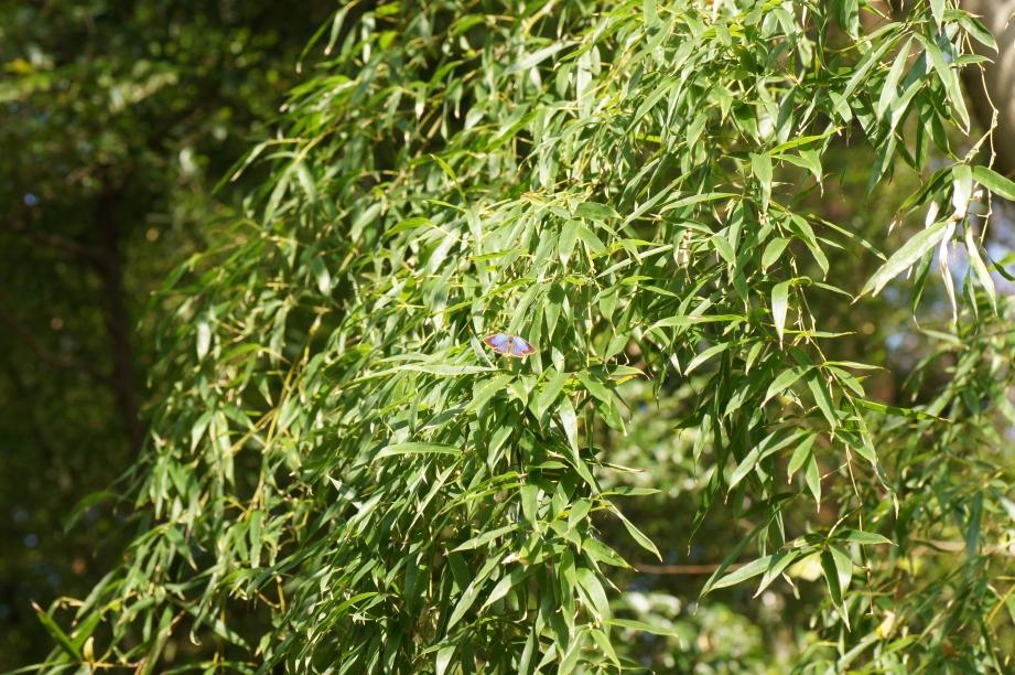 竹の葉上で開翅したムラサキスジミ