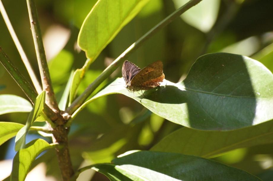 ムラサキツバメ♂(半開翅)