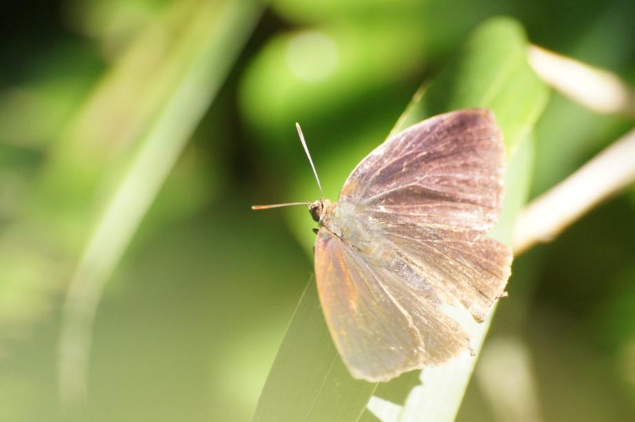 ムラサキツバメ♂(開翅)