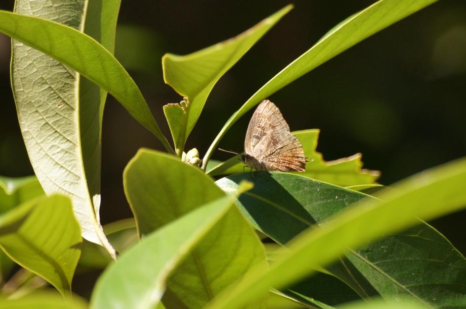 ムラサキツバメ♂(閉翅)