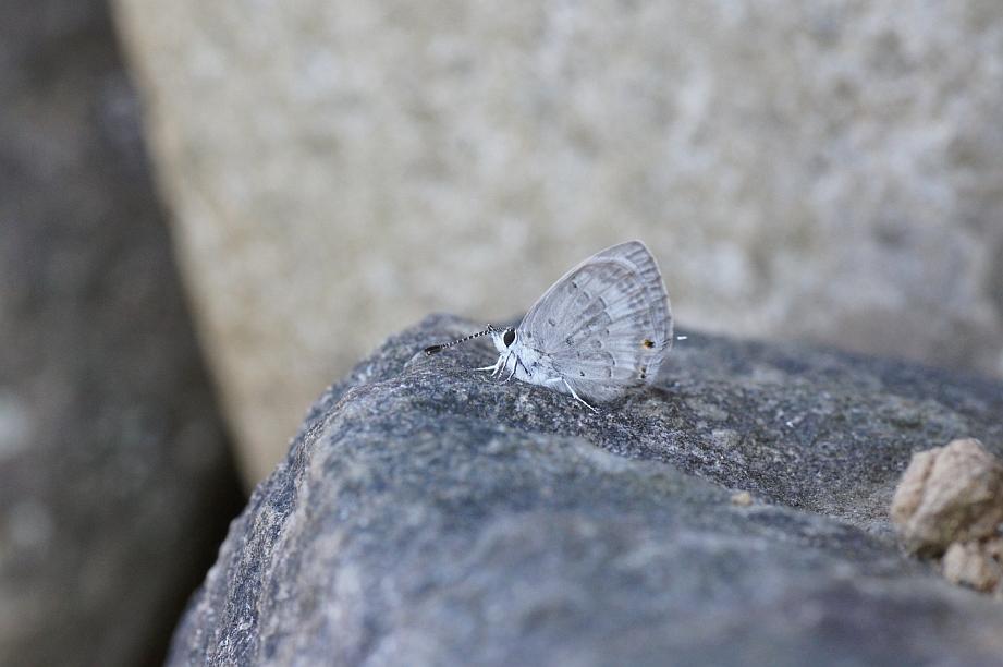 クロマダラソテツシジミ♂