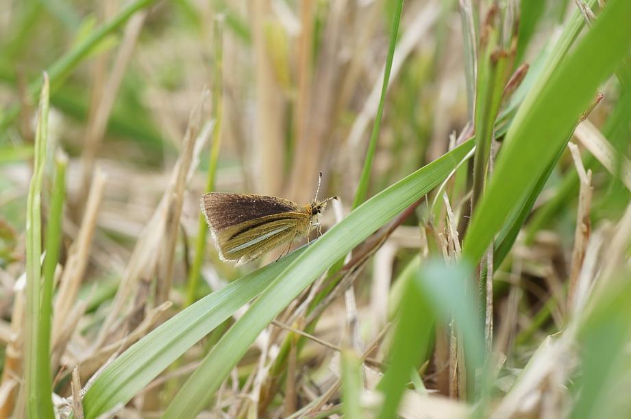 ギンイチモンジセセリ(半開翅)