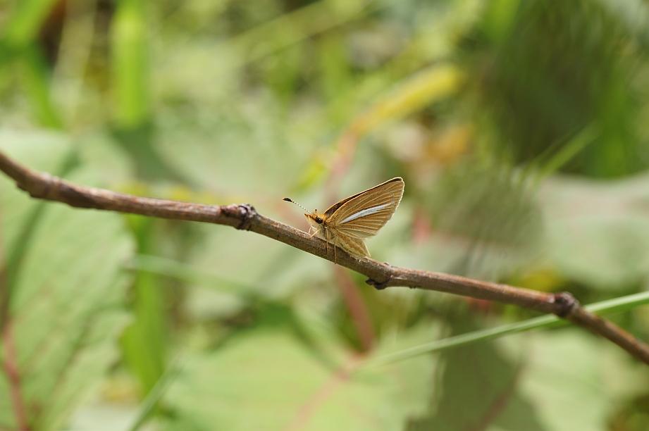 ギンイチモンジセセリ(閉翅)