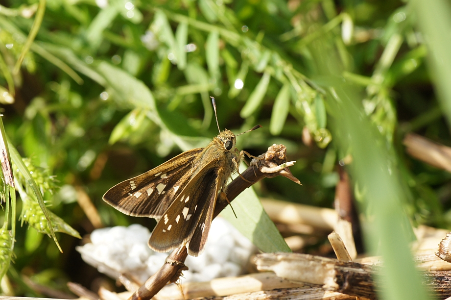 ミヤマチャバネセセリ(開翅)