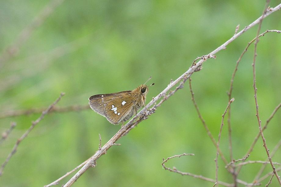 ミヤマチャバネセセリ(閉翅)