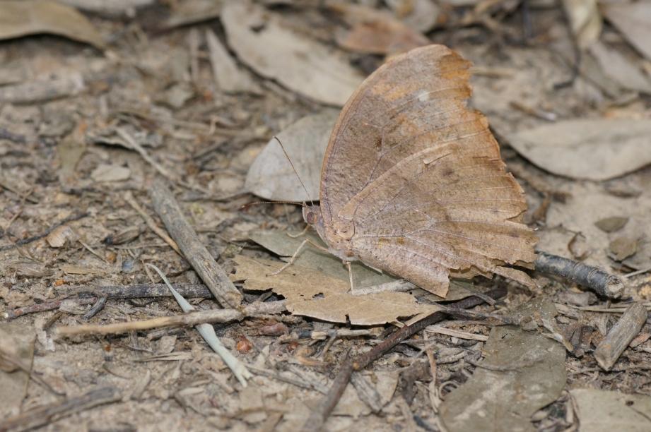 クロコノマチョウ(越冬個体)
