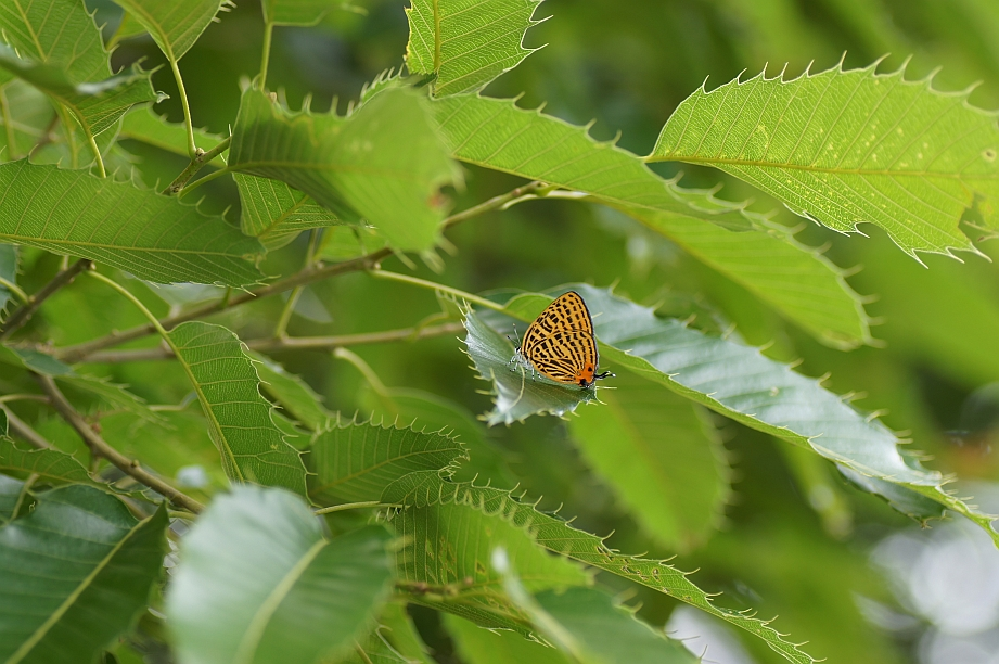 ウラナミアカシジミ♂
