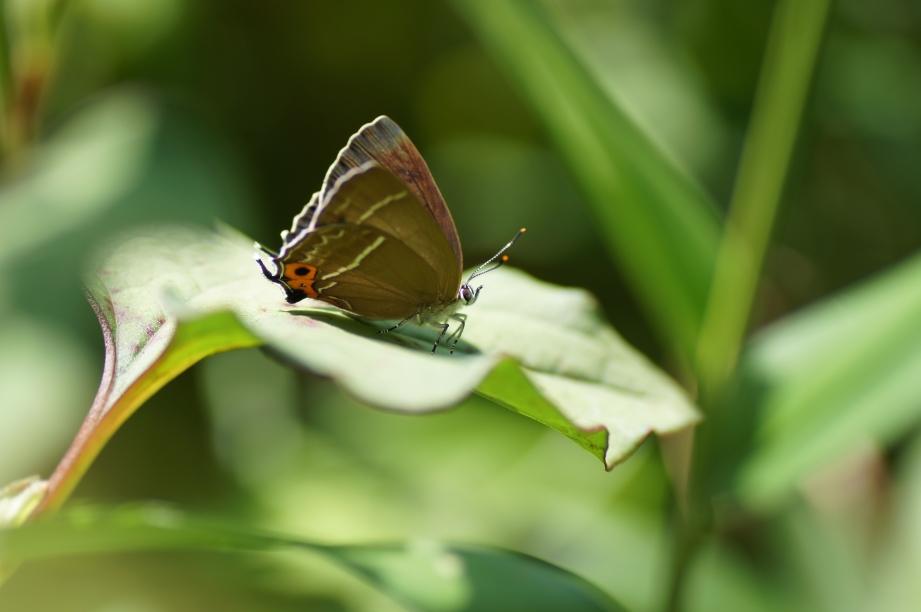 ミドリシジミ♀半開翅