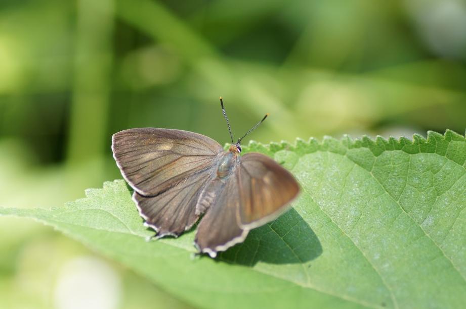 ミドリシジミ♀開翅