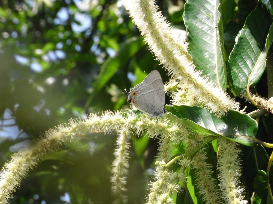 オオミドリシジミ♂