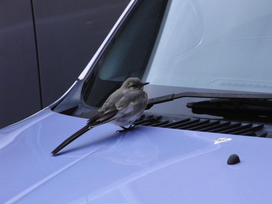 キセキレイ(幼鳥)